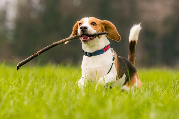 Cachorros e suas características