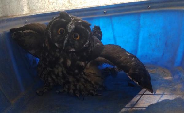 Guarda Ambiental de Cotia devolve coruja-orelhuda à natureza